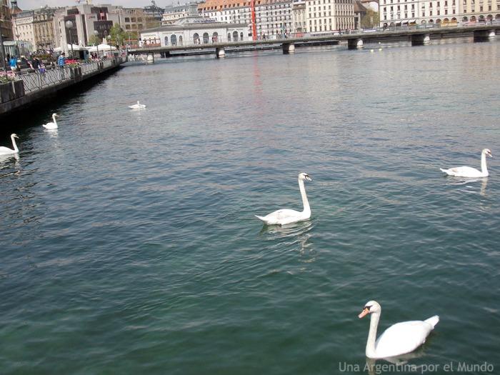 Ginebra - Suiza - Cisnes