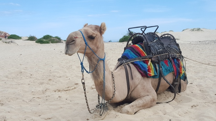 Port Stephens Australia NSW Camel