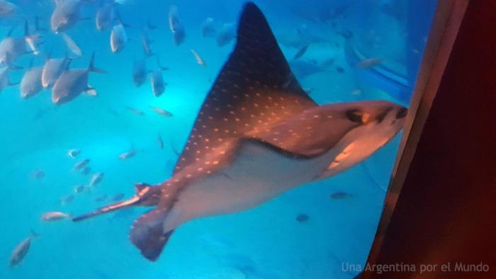 Raya lunares tanque osaka aquarium