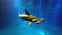 Tiburón Osaka Aquarium Shark