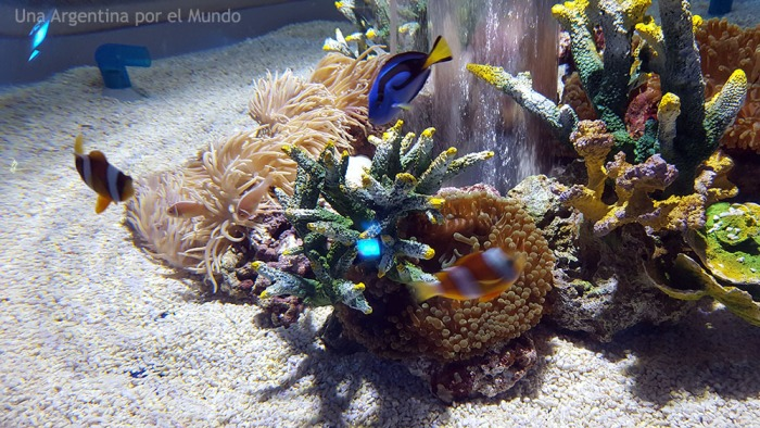 Pez cirujano Pezz payaso osaka aquarium